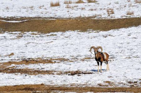 mouflon in winter  Stock Photo - 13203391