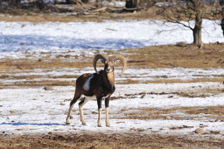 mouflon in winter