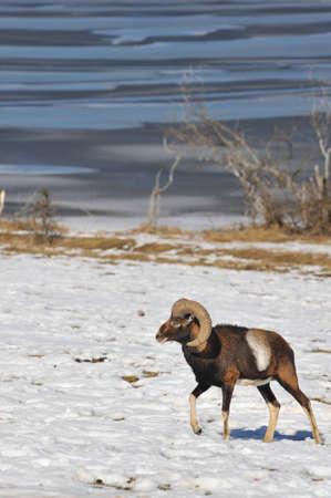 mouflon in winter  photo