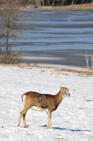 mouflon: mufl�n