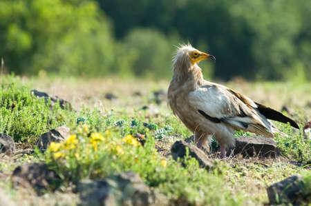raptorial: Egyptian Vulture