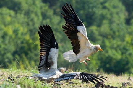 beak vulture: Egyptian Vulture