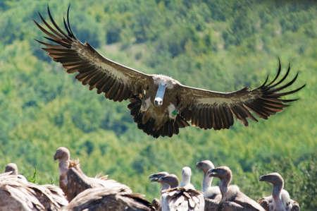 Griffon vulture in flight photo