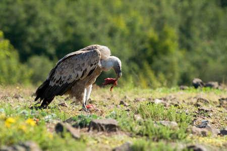 raptorial: Griffon vulture feeds Stock Photo