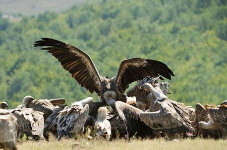 griffon: Griffon vulture feeds Stock Photo
