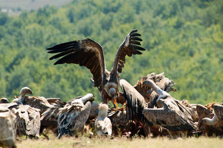 Griffon vulture feeds Stock Photo