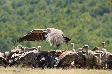 accipitridae: Griffon vulture