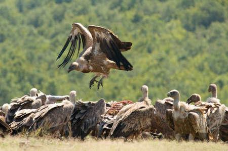 griffon: Griffon vulture
