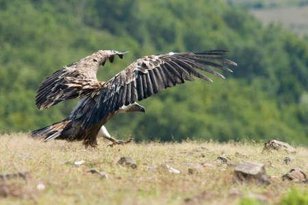 ciconiiformes: Griffon vulture