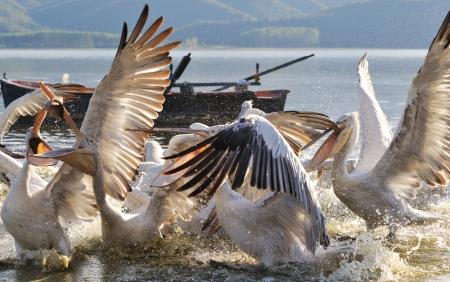 fracas: Dalmatian pelican