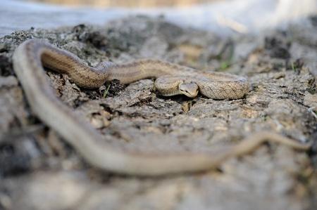 colubridae: smooth snake (Coronella austriaca) on the old stump Stock Photo