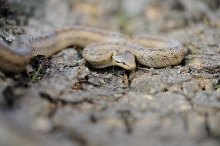 colubridae: smooth snake (Coronella austriaca)