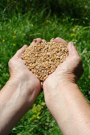 Farmer hands full of ripe wheat seeds  photo