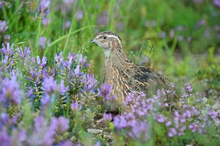 quail bird for hunting Stock Photo