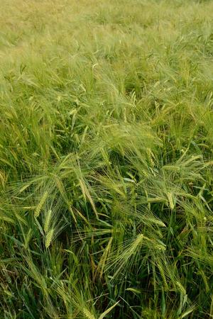 Green wheat Stock Photo