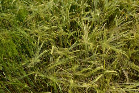 field of ripening wheat Stock Photo