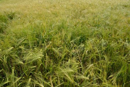 wheat growing in the field