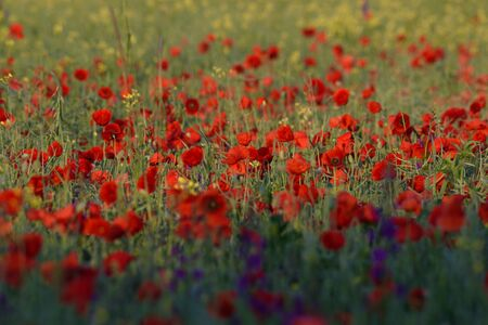red poppies at sunrise