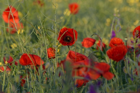 picturesque: red poppies at sunrise