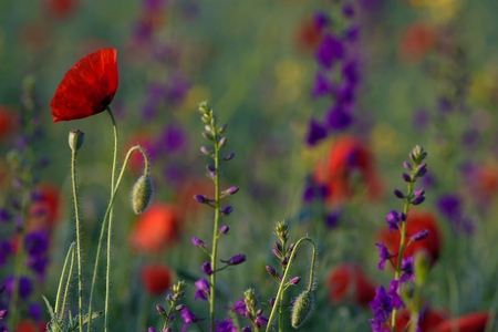 Red poppies and Consolida hispanica