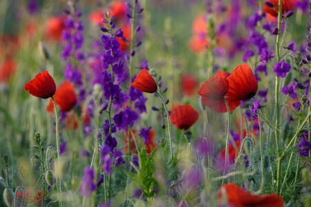 Red and purple flowers Stock Photo