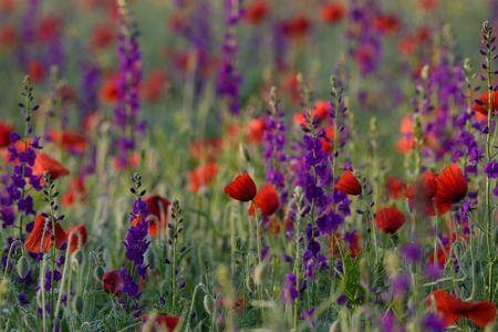 Red poppies between purple flowers at sunrise
