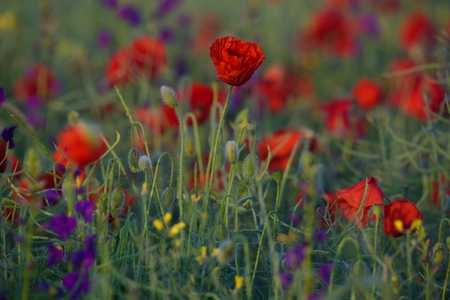 The first sunlight light up with red and purple wild flowers