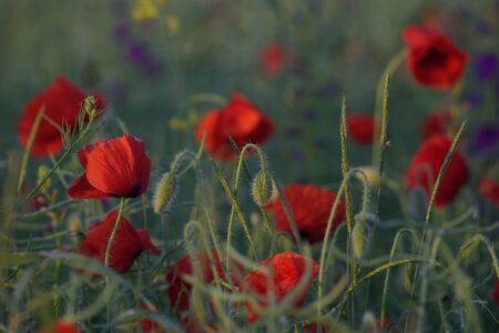 Field with red poppies at sunrise