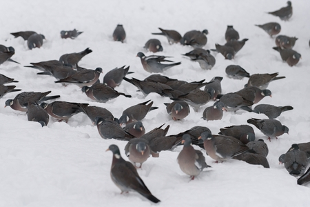 Wood pigeon stands in the snow January month