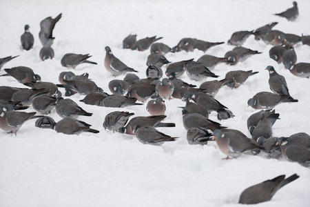 Wood pigeon is eating in the snow
