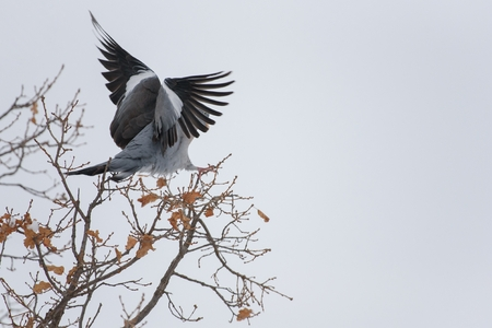 Wood pigeon perched on a branch Stock Photo