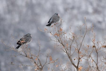Wood pigeon perched on a branch Reklamní fotografie