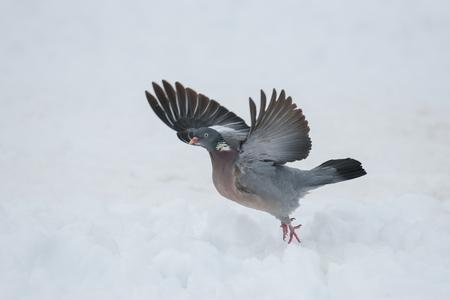 Wood pigeon with wings spread