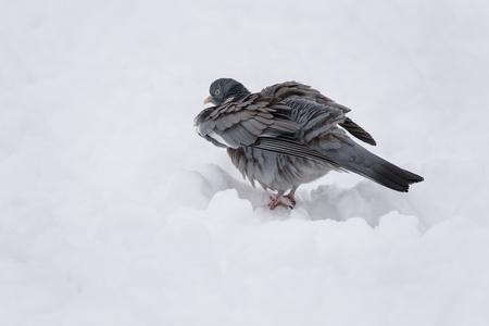 Wood pigeons in winter