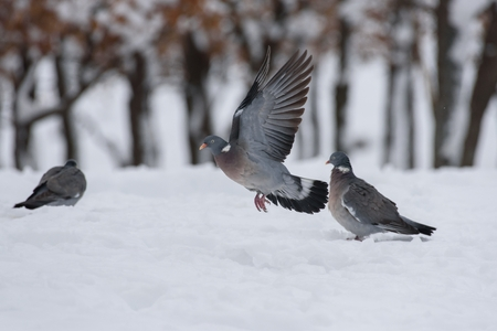 Wood pigeons in flight in winter