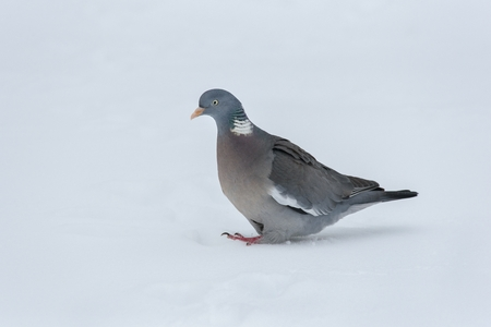 Cold days are hard to find food for wood pigeons