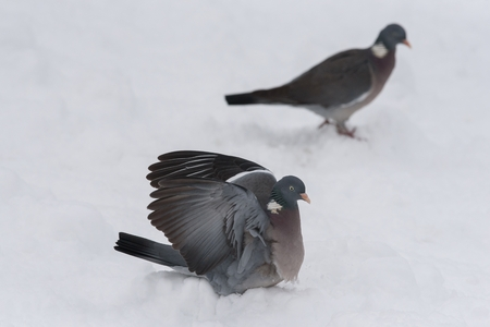 Images of wood pigeon in the winter