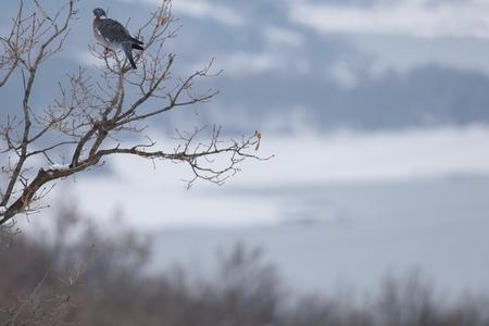 Wood pigeon in winter