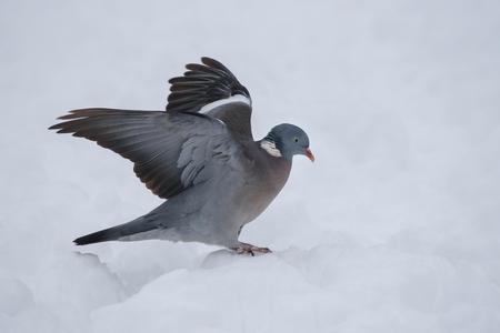 Pigeon ramier en hiver