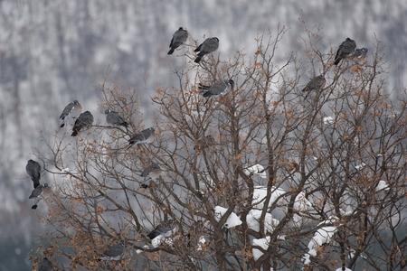 Pigeon des bois repose sur un arbre