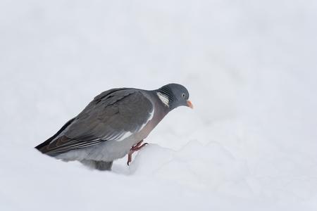 Wood pigeon in January on a snowy day Reklamní fotografie