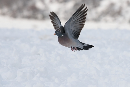 Wood pigeon flight in winter Banque d'images