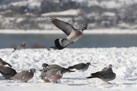 Common wood pigeon in January eat in the snow