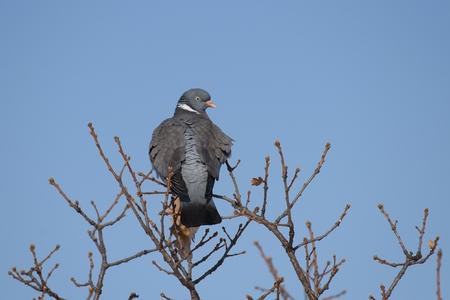 Wood pigeon rests on a tree against a blue sky background Reklamní fotografie