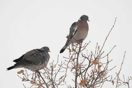 Wood pigeon rests on a tree