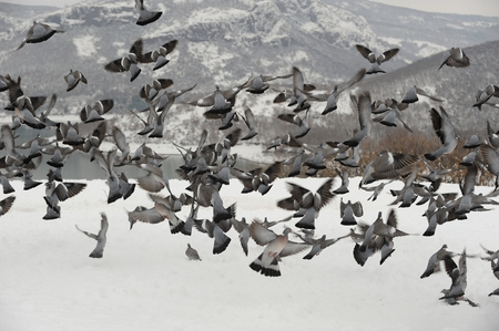 Big group common wood pigeon fly in the winter and looking for food