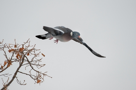 Wood pigeon fly Banque d'images