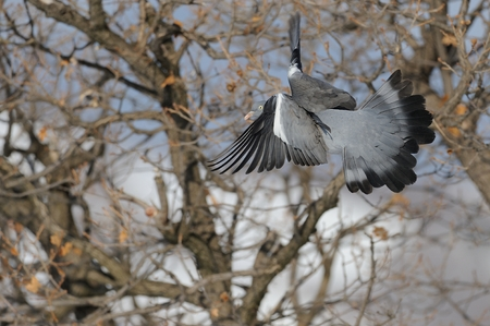 Wood pigeon fly Stock Photo