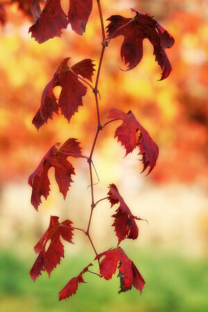 lambrusco: Bunch of red vine leaves on a italian background