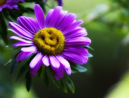 The beautiful and natural smile of a violet daisy